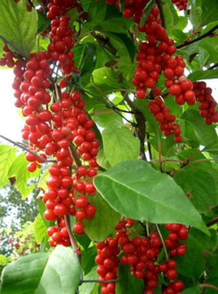 Айва японская или Хеномелес выращивание посадка и уход